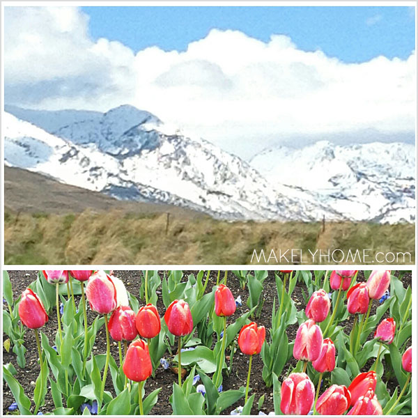 Mountains and Tulips at Thanksgiving Point in Lehi, Utah
